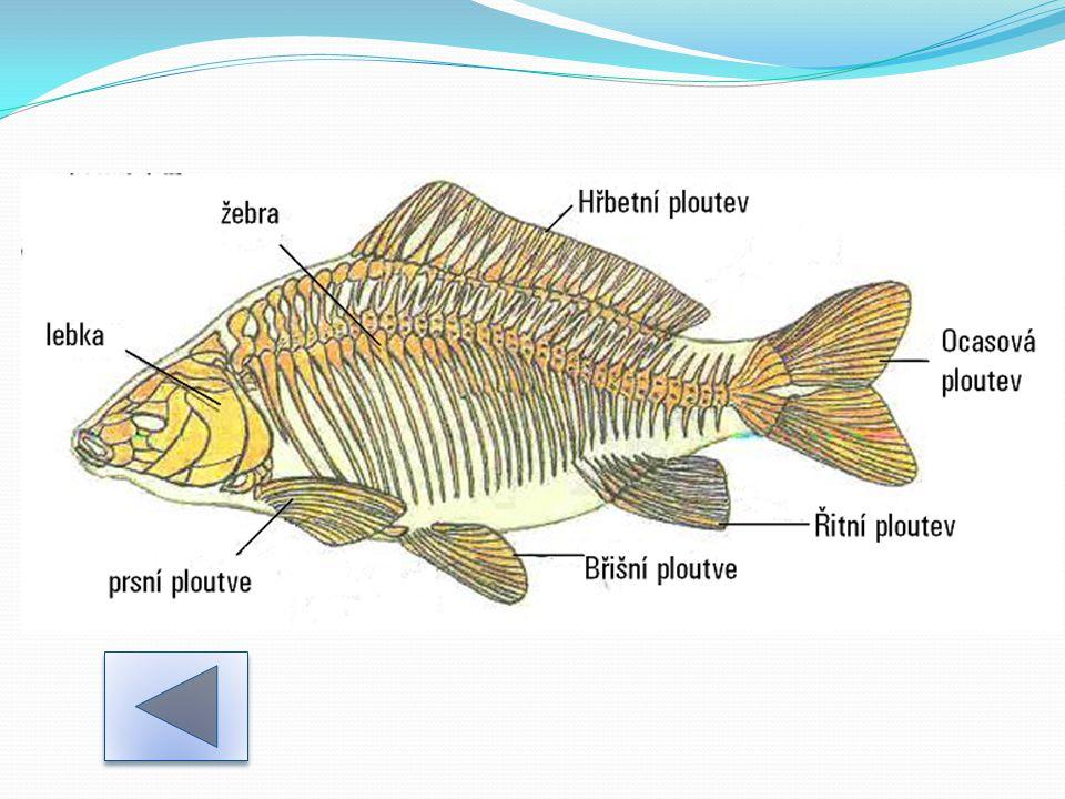 Trávící soustava -ústa → hltan → jícen → žaludek- dravé ryby (u ostatních rozšířené střevo) → střevo → řitní otvor Při trávení pomáhají játra se žlučníkem a slinivka břišní.