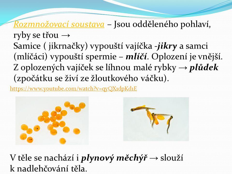Rozmnožovací soustava – Jsou odděleného pohlaví, ryby se třou → Samice ( jikrnačky) vypouští vajíčka -jikry a samci (mlíčáci) vypouští spermie – mlíčí