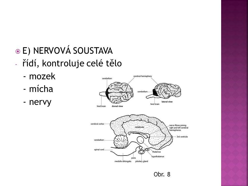  E) NERVOVÁ SOUSTAVA - řídí, kontroluje celé tělo - mozek - mícha - nervy Obr. 8