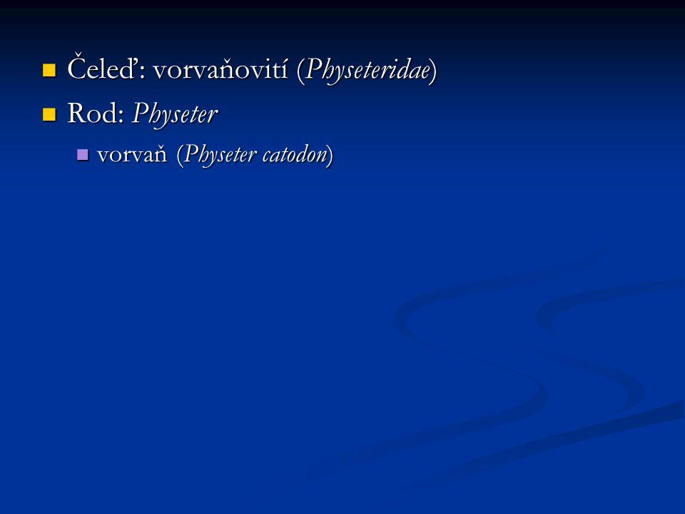 Čeleď: vorvaňovití (Physeteridae) Čeleď: vorvaňovití (Physeteridae) Rod: Physeter Rod: Physeter vorvaň (Physeter catodon) vorvaň (Physeter catodon)