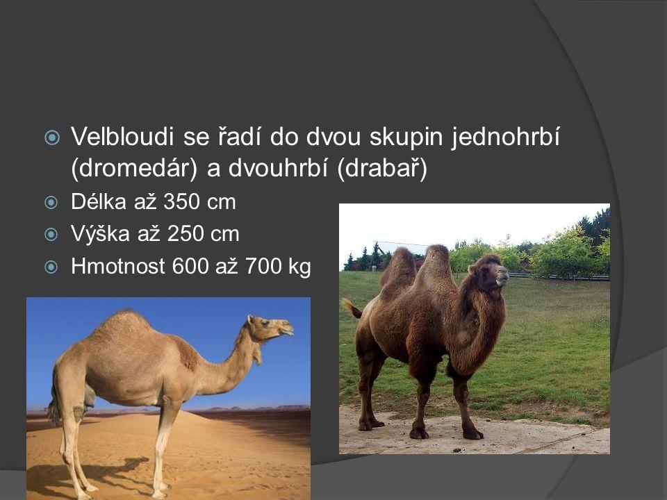 Dromedár  V přírodě je už vyhuben a žije jen ve zdomácnělé formě  Před zdomácňováním, které začalo už asi 4000 let př.n.l, žil Dromedár zřejmě v severní Africe a Arábii.