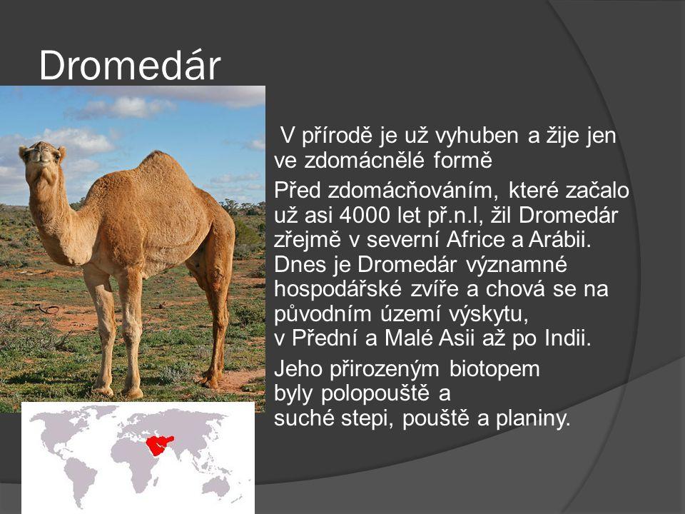 Drabař  Velbloud Drabař se vyskytuje ve Střední Asii a to konkrétně v Číně a Mongolsku.