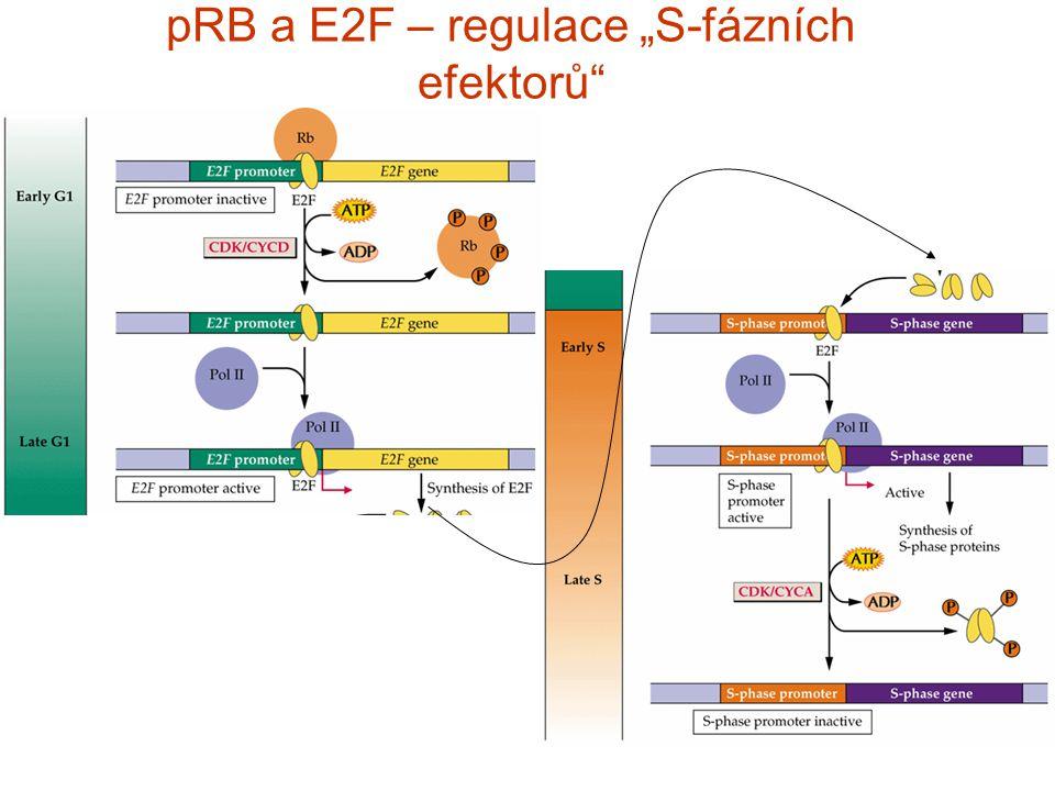"""pRB a E2F – regulace """"S-fázních efektorů"""