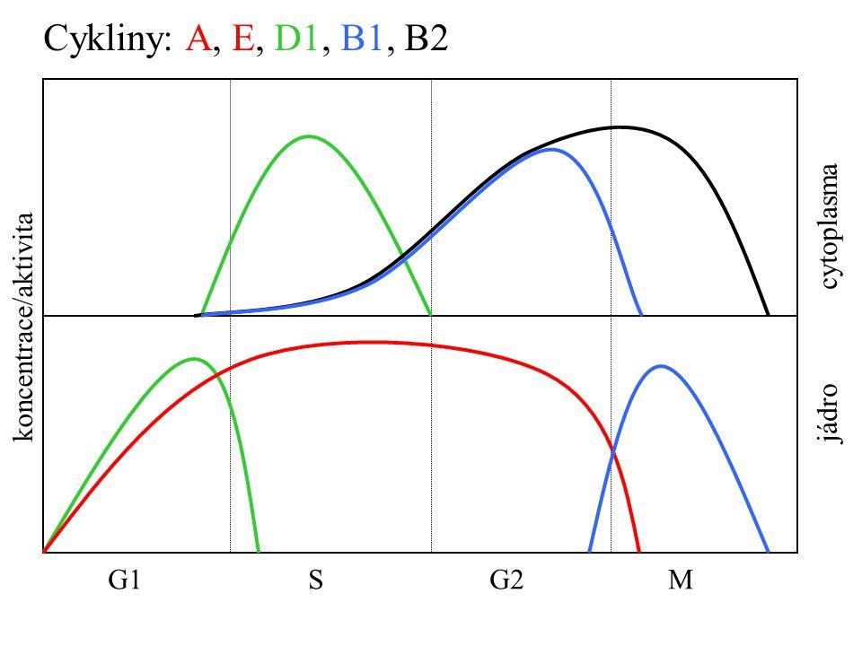 G1 S G2 M jádro cytoplasma koncentrace/aktivita Cykliny: A, E, D1, B1, B2