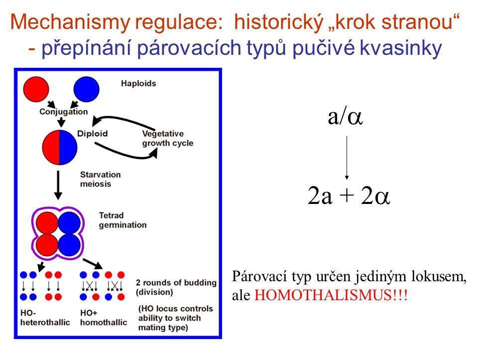 """Mechanismy regulace: historický """"krok stranou - přepínání párovacích typů pučivé kvasinky a/  2a + 2  Párovací typ určen jediným lokusem, ale HOMOTHALISMUS!!!"""