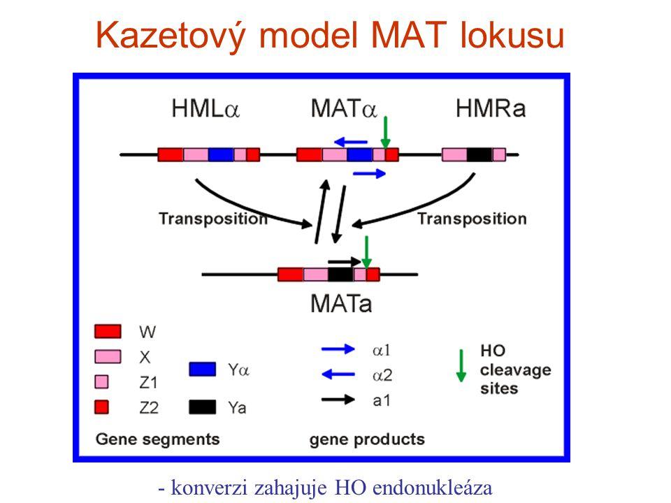 Kazetový model MAT lokusu - konverzi zahajuje HO endonukleáza