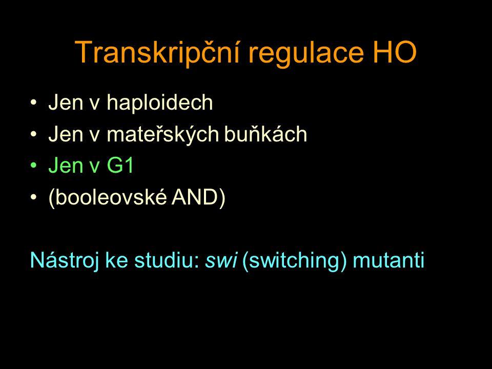 Transkripční regulace HO Jen v haploidech Jen v mateřských buňkách Jen v G1 (booleovské AND) Nástroj ke studiu: swi (switching) mutanti