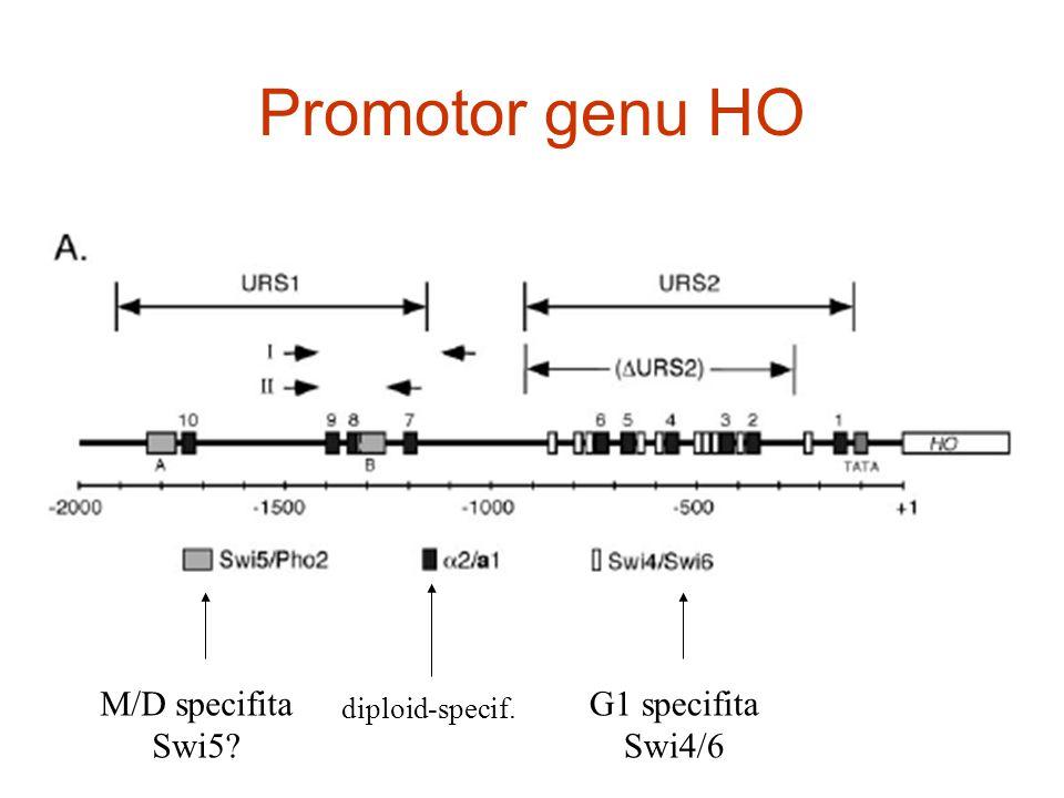 Promotor genu HO M/D specifita Swi5 G1 specifita Swi4/6 diploid-specif.