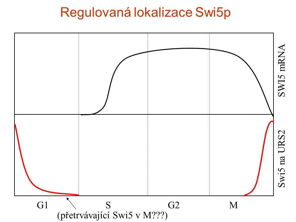 G1 S G2 M Swi5 na URS2 SWI5 mRNA Regulovaná lokalizace Swi5p (přetrvávající Swi5 v M )