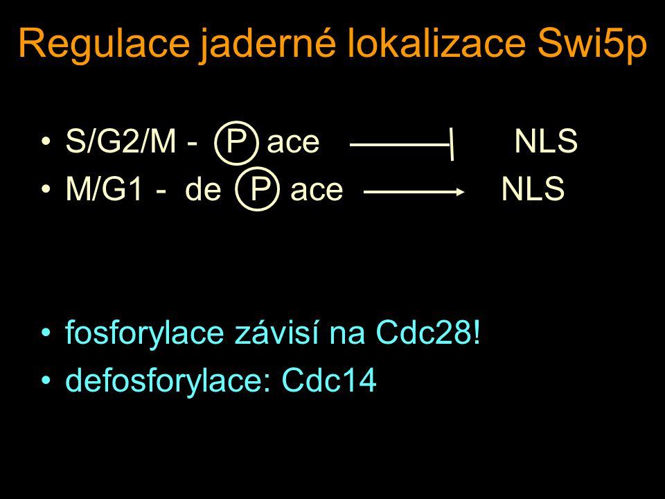 Regulace jaderné lokalizace Swi5p S/G2/M - P ace NLS M/G1 - de P ace NLS fosforylace závisí na Cdc28.