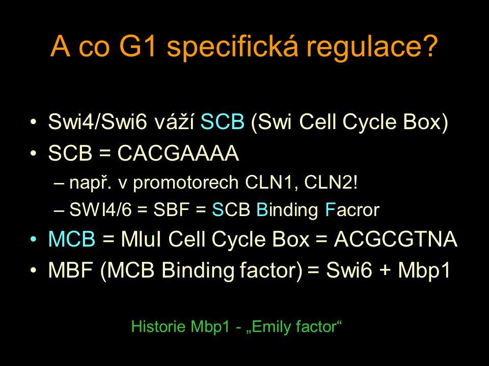A co G1 specifická regulace. Swi4/Swi6 váží SCB (Swi Cell Cycle Box) SCB = CACGAAAA –např.