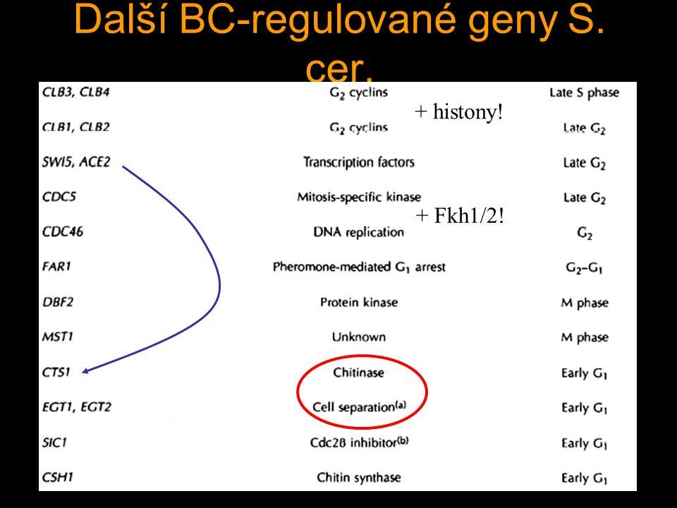 Další BC-regulované geny S. cer. + histony! + Fkh1/2!