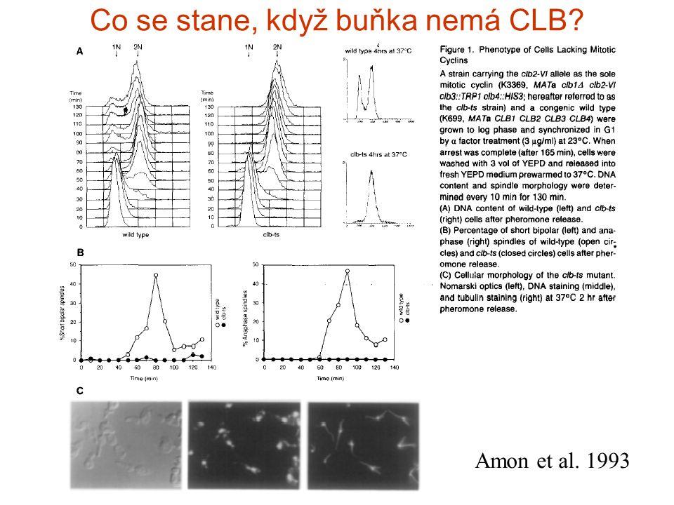 Co se stane, když buňka nemá CLB Amon et al. 1993