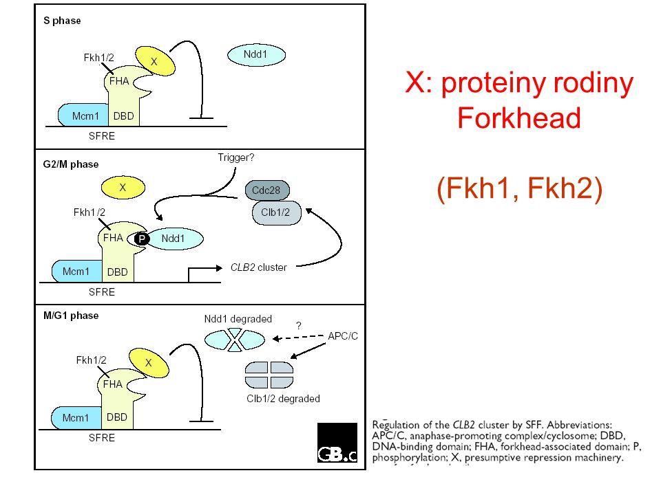 X: proteiny rodiny Forkhead (Fkh1, Fkh2)