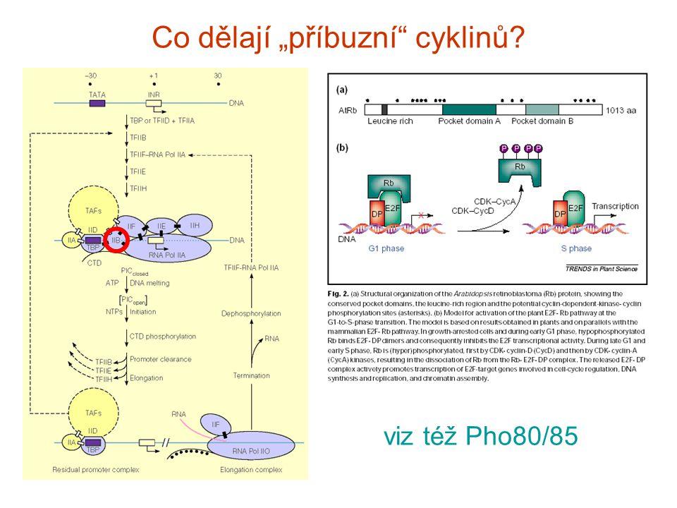 """Co dělají """"příbuzní cyklinů viz též Pho80/85"""
