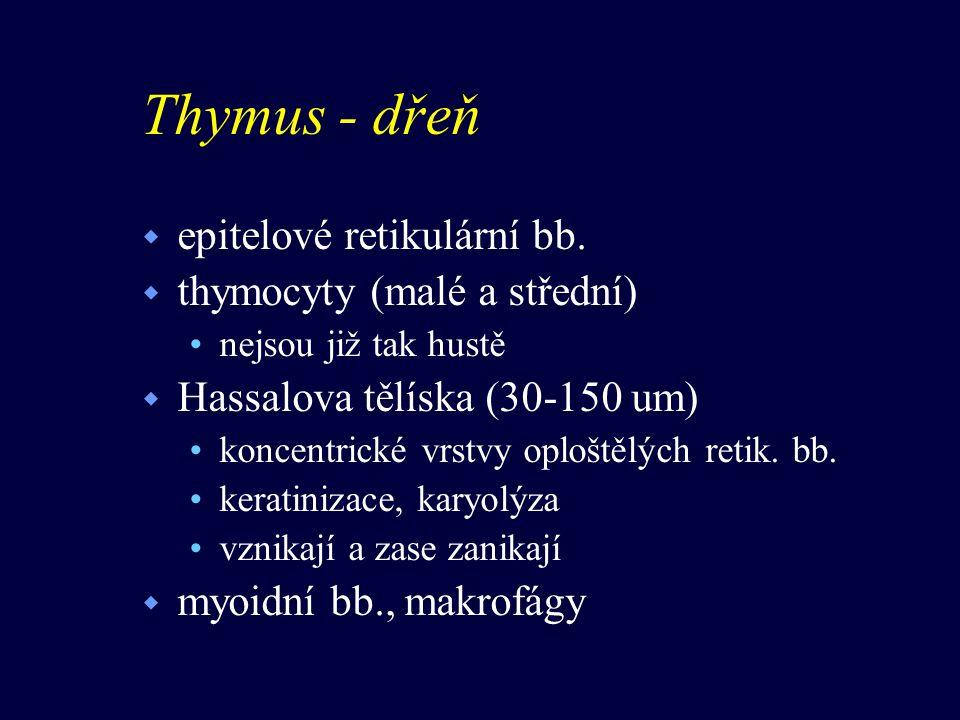 Thymus - dřeň w epitelové retikulární bb. w thymocyty (malé a střední) nejsou již tak hustě w Hassalova tělíska (30-150 um) koncentrické vrstvy oplošt
