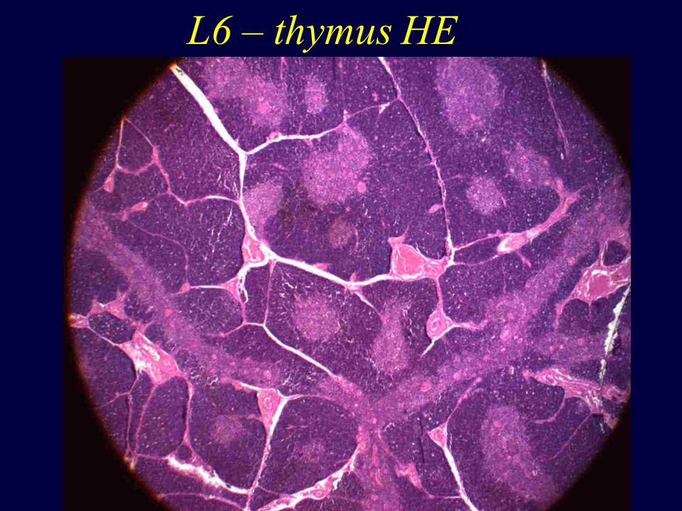 L6 – thymus HE