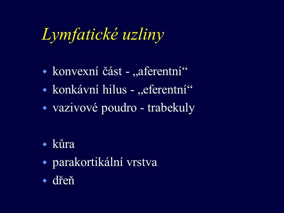"""Lymfatické uzliny w konvexní část - """"aferentní"""" w konkávní hilus - """"eferentní"""" w vazivové poudro - trabekuly w kůra w parakortikální vrstva w dřeň"""