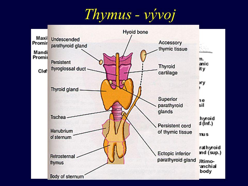 Thymus - stavba w obalen vazivem (mediastinální) obsahuje cévy vrůstá do tkáně - nepravé lalůčky w kůra (cortex thymi) temnější vzhled w dřeň (medulla thymi) světlejší vzhled