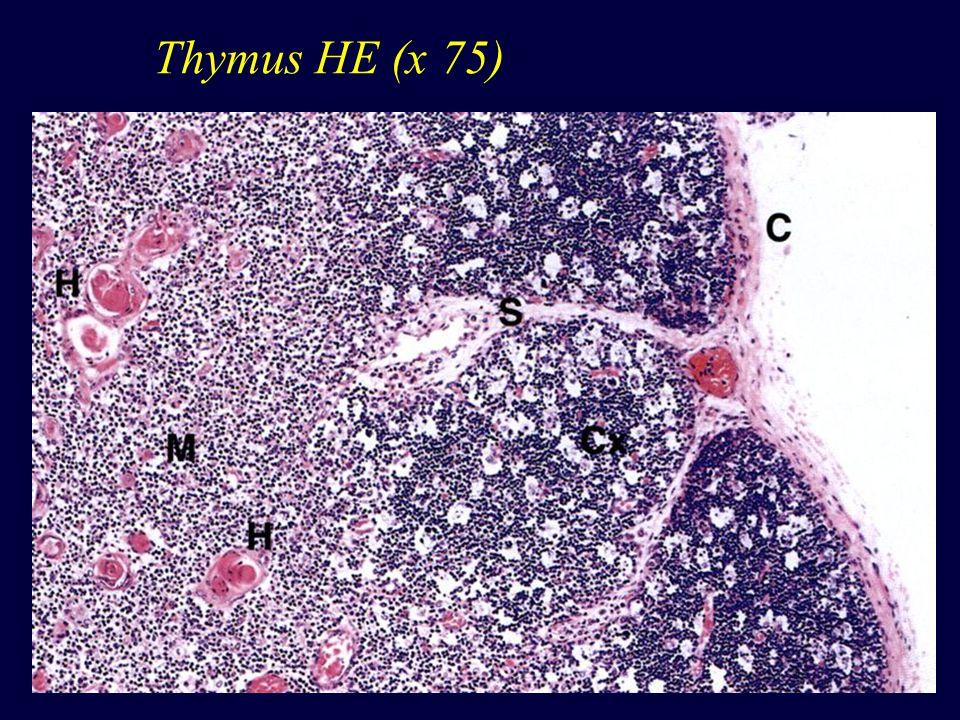Thymus - kůra w epitelové retikulární bb.hvězdicovité bb.