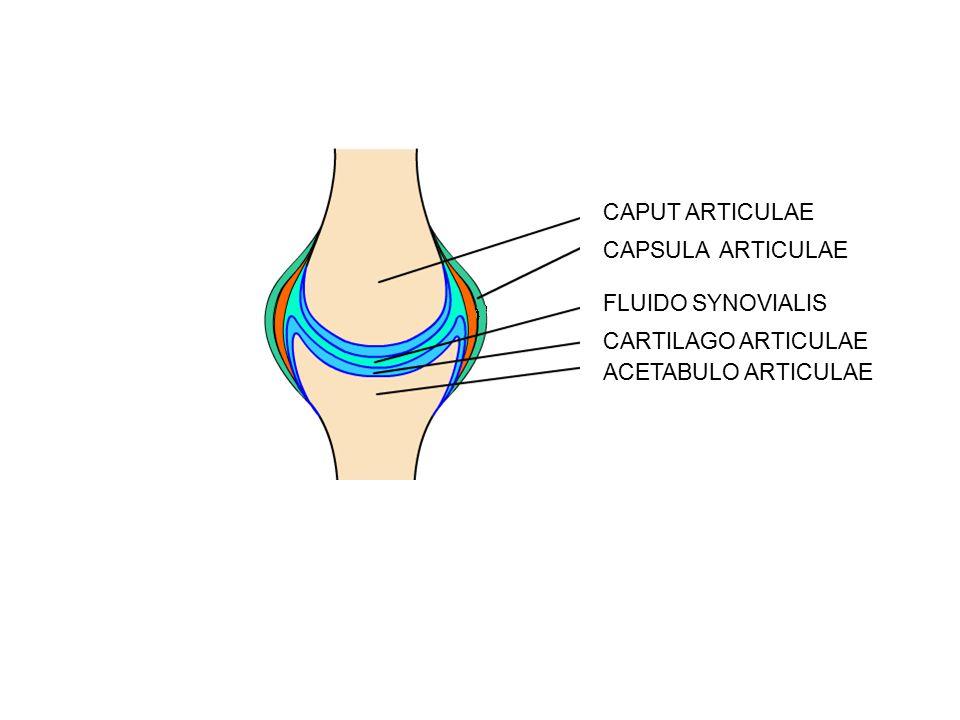 FLUIDO SYNOVIALIS CARTILAGO ARTICULAE CAPUT ARTICULAE ACETABULO ARTICULAE CAPSULA ARTICULAE