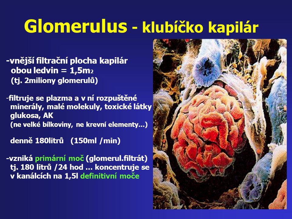 Glomerulus - klubíčko kapilár -vnější filtrační plocha kapilár obou ledvin = 1,5m 2 (tj. 2miliony glomerulů) -filtruje se plazma a v ní rozpuštěné min