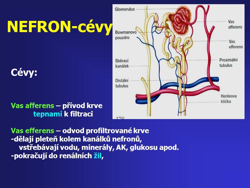NEFRON-cévy Cévy: Vas afferens – přívod krve tepnami k filtraci Vas efferens – odvod profiltrované krve -dělají pleteň kolem kanálků nefronů, vstřebáv