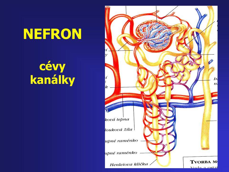 NEFRON cévy kanálky