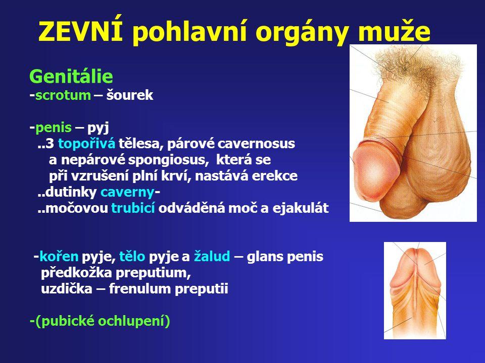 ZEVNÍ pohlavní orgány muže Genitálie -scrotum – šourek -penis – pyj..3 topořivá tělesa, párové cavernosus a nepárové spongiosus, která se při vzrušení