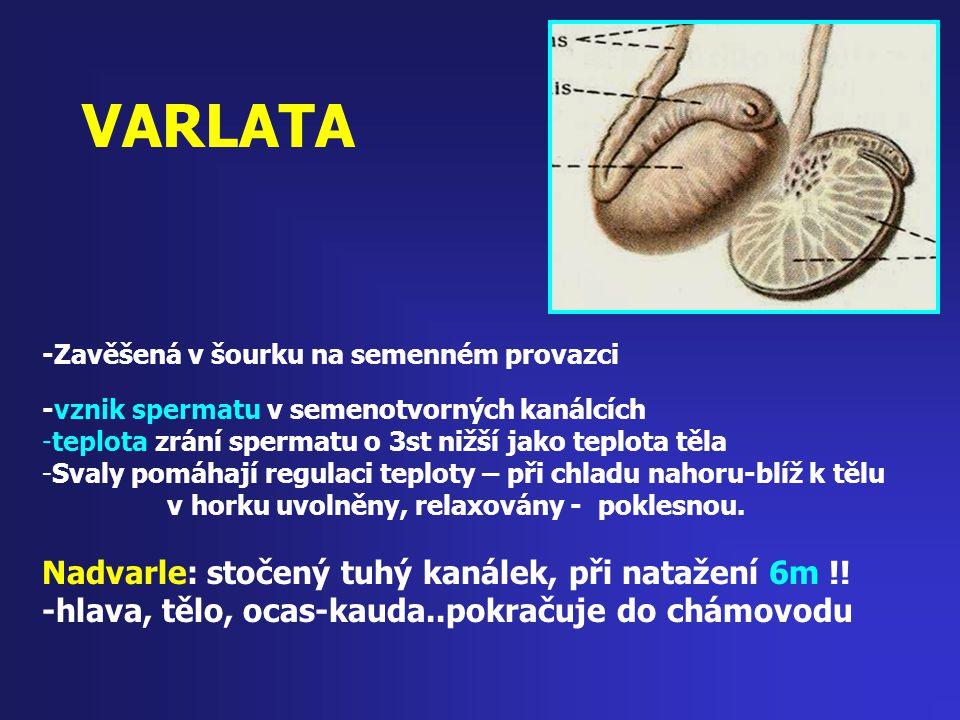 VARLATA -Zavěšená v šourku na semenném provazci -vznik spermatu v semenotvorných kanálcích -teplota zrání spermatu o 3st nižší jako teplota těla -Sval