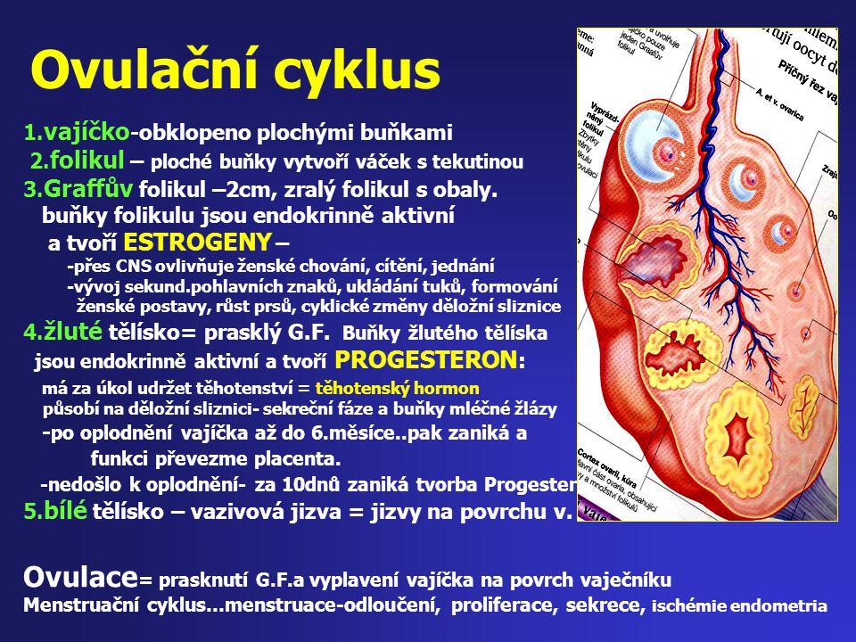 Ovulační cyklus 1. vajíčko -obklopeno plochými buňkami 2. folikul – ploché buňky vytvoří váček s tekutinou 3. Graffův folikul –2cm, zralý folikul s ob