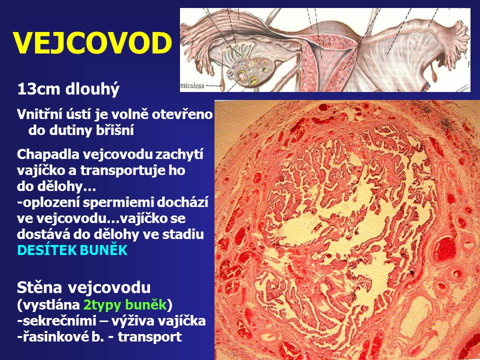 VEJCOVOD 13cm dlouhý Vnitřní ústí je volně otevřeno do dutiny břišní Chapadla vejcovodu zachytí vajíčko a transportuje ho do dělohy… -oplození spermie