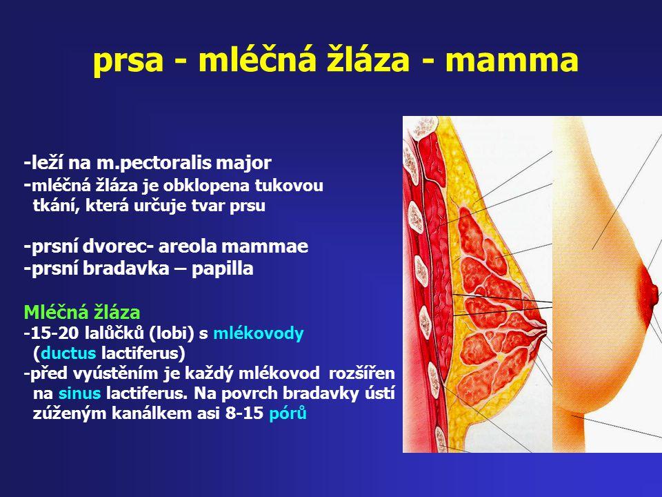 prsa - mléčná žláza - mamma -leží na m.pectoralis major - mléčná žláza je obklopena tukovou tkání, která určuje tvar prsu -prsní dvorec- areola mammae