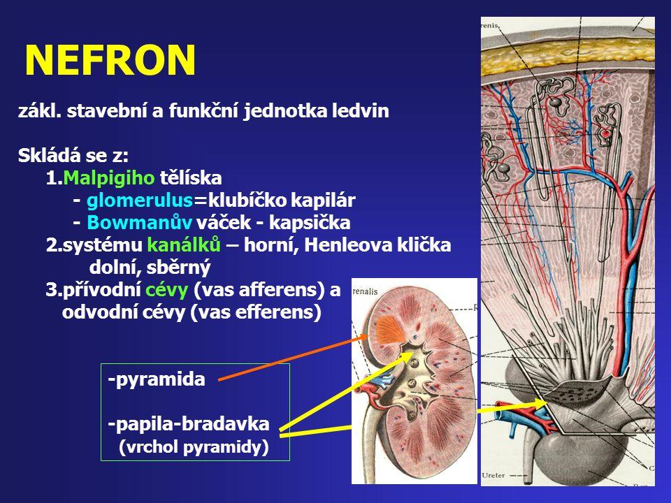 NEFRON -pyramida -papila-bradavka (vrchol pyramidy) zákl. stavební a funkční jednotka ledvin Skládá se z: 1.Malpigiho tělíska - glomerulus=klubíčko ka
