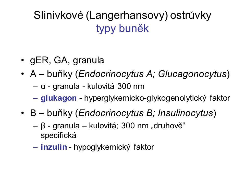 """Slinivkové (Langerhansovy) ostrůvky typy buněk gER, GA, granula A – buňky (Endocrinocytus A; Glucagonocytus) –α - granula - kulovitá 300 nm –glukagon - hyperglykemicko-glykogenolytický faktor B – buňky (Endocrinocytus B; Insulinocytus) –β - granula – kulovitá; 300 nm """"druhově specifická –inzulín - hypoglykemický faktor"""