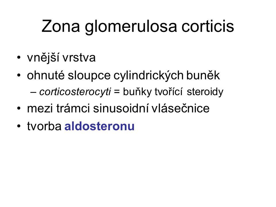 Zona glomerulosa corticis vnější vrstva ohnuté sloupce cylindrických buněk –corticosterocyti = buňky tvořící steroidy mezi trámci sinusoidní vlásečnice tvorba aldosteronu