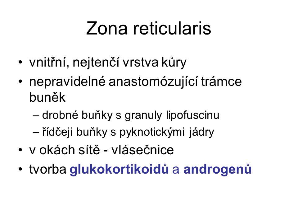 Zona reticularis vnitřní, nejtenčí vrstva kůry nepravidelné anastomózující trámce buněk –drobné buňky s granuly lipofuscinu –řídčeji buňky s pyknotickými jádry v okách sítě - vlásečnice tvorba glukokortikoidů a androgenů