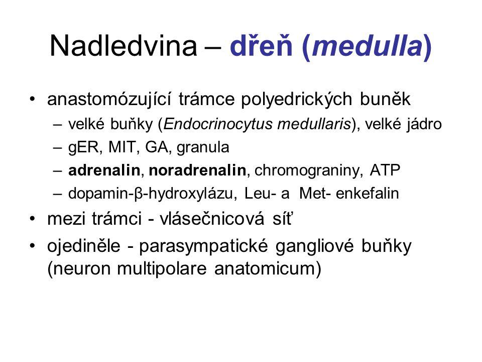 Nadledvina – dřeň (medulla) anastomózující trámce polyedrických buněk –velké buňky (Endocrinocytus medullaris), velké jádro –gER, MIT, GA, granula –adrenalin, noradrenalin, chromograniny, ATP –dopamin-β-hydroxylázu, Leu- a Met- enkefalin mezi trámci - vlásečnicová síť ojediněle - parasympatické gangliové buňky (neuron multipolare anatomicum)
