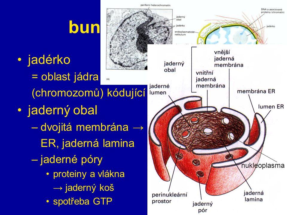 12 buněčné organely jadérko = oblast jádra (chromozomů) kódující rRNA jaderný obal –dvojitá membrána → ER, jaderná lamina –jaderné póry proteiny a vlá