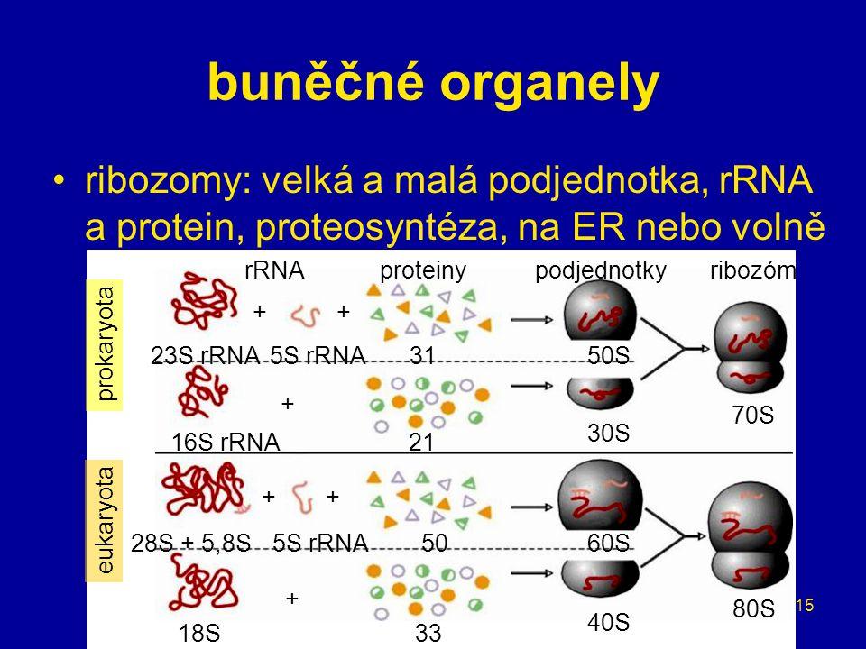 15 buněčné organely ribozomy: velká a malá podjednotka, rRNA a protein, proteosyntéza, na ER nebo volně rRNAproteinypodjednotkyribozóm ++ + ++ + 23S r