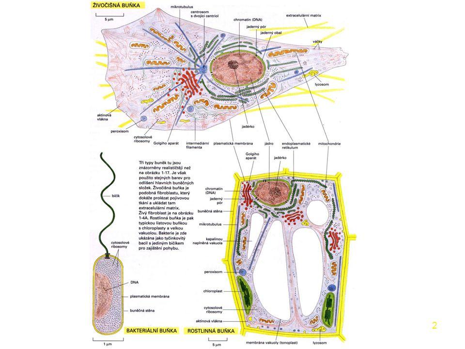33 buněčné organely plastidy –pouze u rostlin, řas a prvoků –3 membrány vnější propustná vnitřní nepropustná, stroma thylakoidální → grana, barviva –barviva → chloroplasty (chlorofyl → fotosyntéza) → chromoplasty (xantofyly, karoteny - květy, plody) → leukoplasty (bez barviv - zásoba škrobu) –cirkulární molekula DNA (barviva) → semiautonomní organela