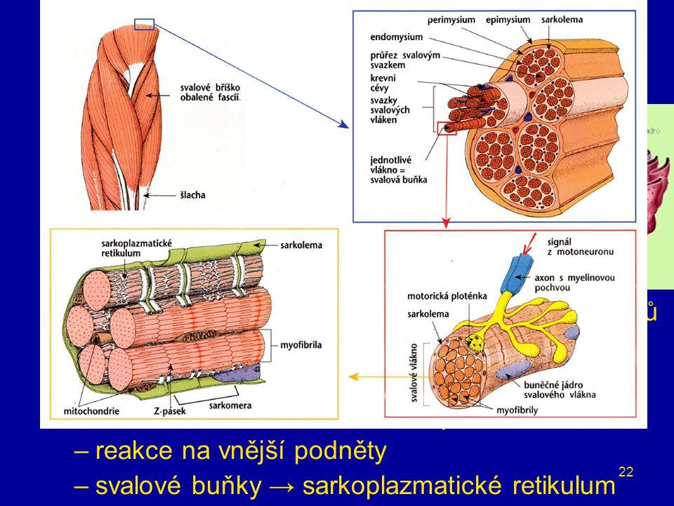 22 buněčné organely endoplazmatické retikulum –propojené ploché váčky vybíhající z vnější jaderné membrány –až ½ buněčných membrán –metabolismus –drsn