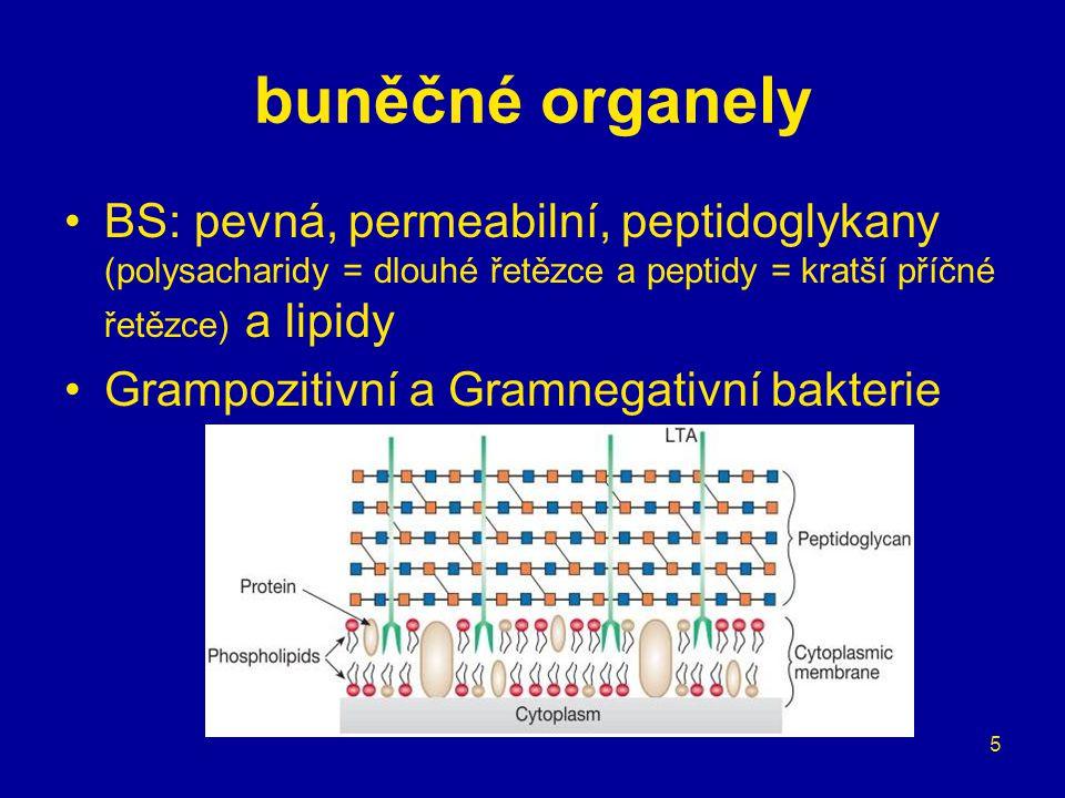 5 buněčné organely BS: pevná, permeabilní, peptidoglykany (polysacharidy = dlouhé řetězce a peptidy = kratší příčné řetězce) a lipidy Grampozitivní a