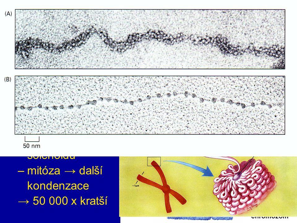 9 buněčné organely nukleoid: 1 cirkulární molekula DNA jádro: NA + proteiny (histony) → chromozom –nukleozom = 200 bp –solenoid = 30 nm –většinou ve f