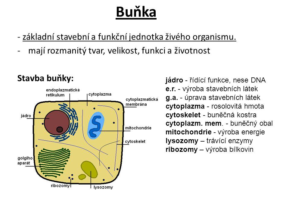 Buňka - základní stavební a funkční jednotka živého organismu. -mají rozmanitý tvar, velikost, funkci a životnost Stavba buňky: jádro - řídící funkce,
