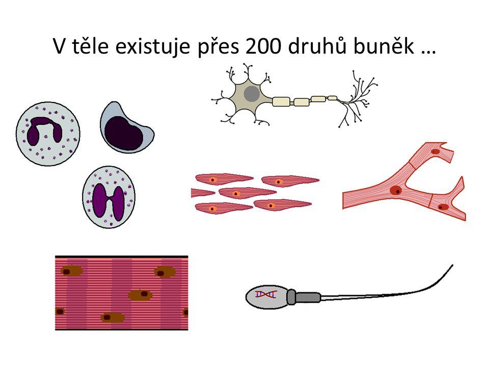 -soubor buněk stejného tvaru a funkce Tkáň v lidském těle: -výstelková (epitelová) -pojivová -svalová -nervová -tělní tekutiny Tkáň
