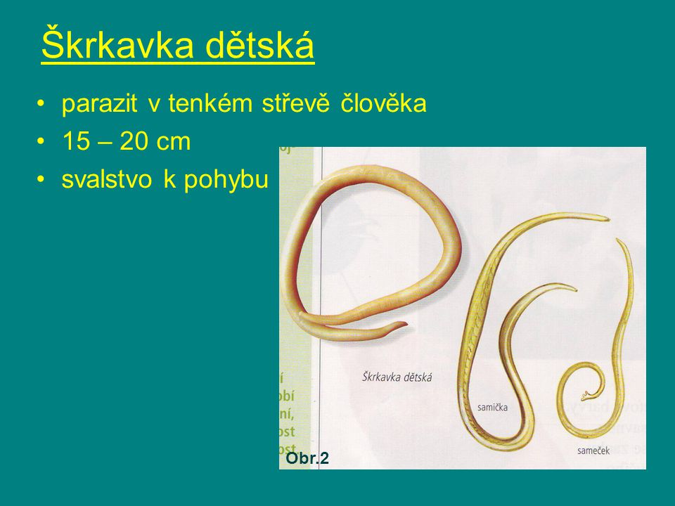 Škrkavka dětská parazit v tenkém střevě člověka 15 – 20 cm svalstvo k pohybu Obr.2