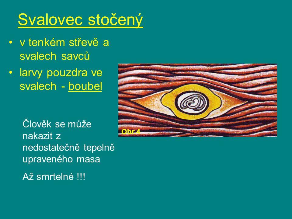 Svalovec stočený v tenkém střevě a svalech savců larvy pouzdra ve svalech - boubel Člověk se může nakazit z nedostatečně tepelně upraveného masa Až sm