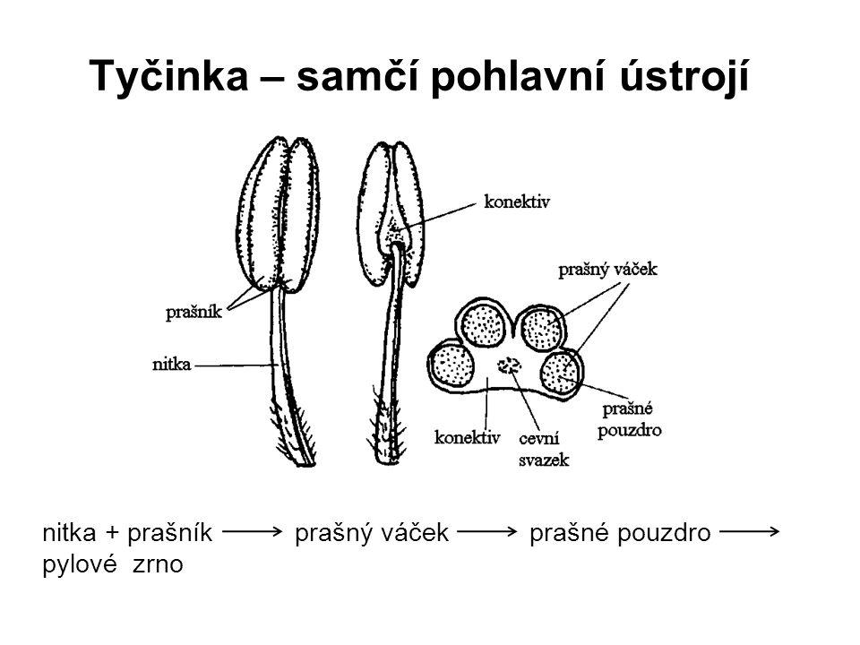 Tyčinka – samčí pohlavní ústrojí nitka + prašník prašný váček prašné pouzdro pylové zrno