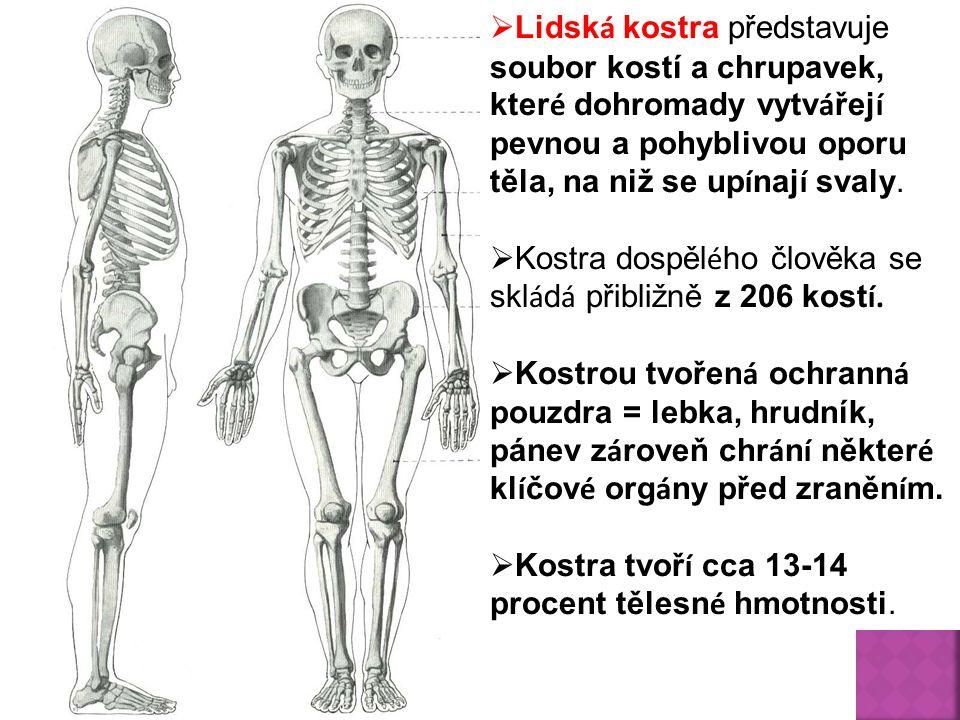  Lidsk á kostra představuje soubor kostí a chrupavek, kter é dohromady vytv á řej í pevnou a pohyblivou oporu těla, na niž se up í naj í svaly.  Kos
